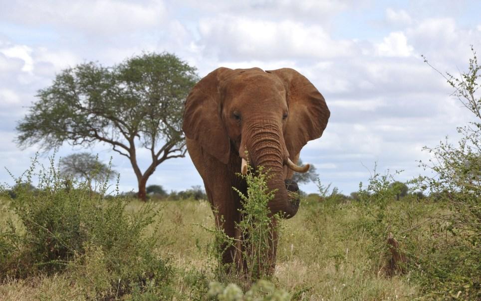 Un elefante del Parque Nacional de Tsavo, en Kenia. EFE/Archivo/Javier Marín