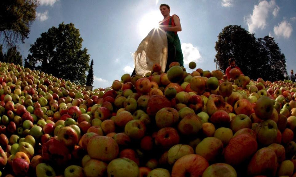 Recolección de manzanas en el municipio alemán de Karben para elaborar zumo y sidra. EFE/Arne Dedert.